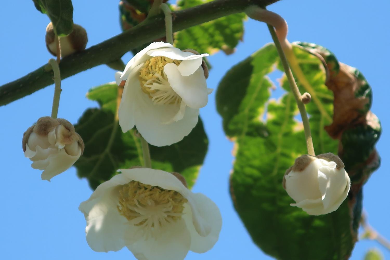 猕猴桃的花(南大泉)图片