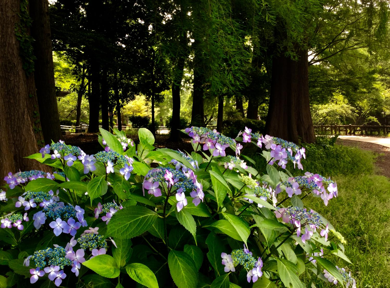 石神井公園的紫陽花顏色顏色