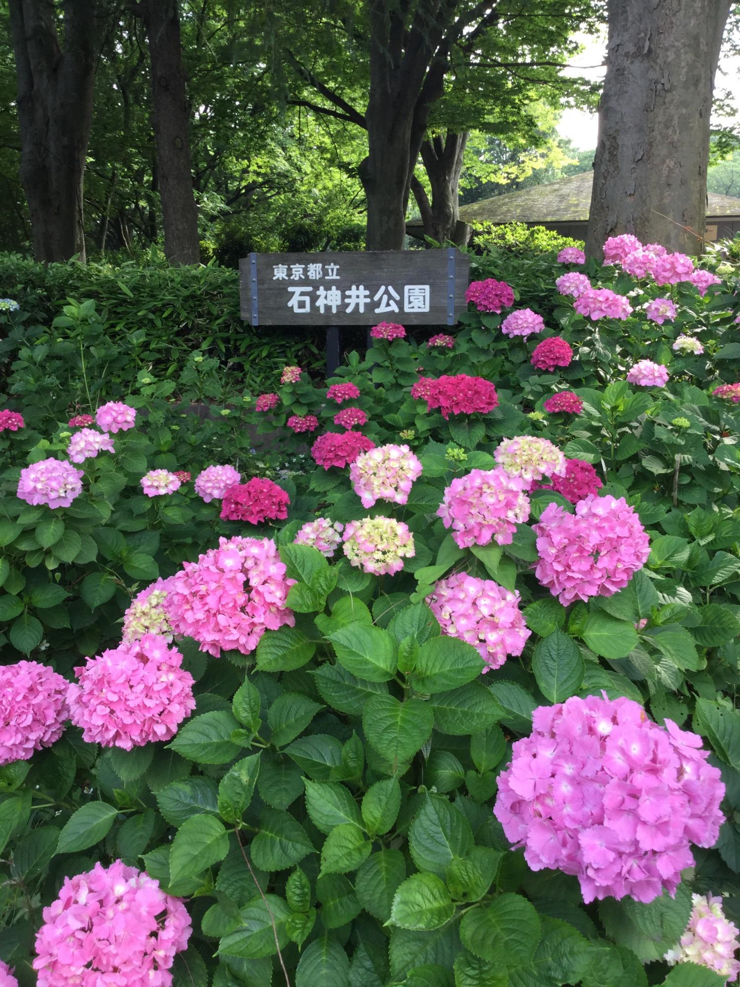 Season of hydrangea