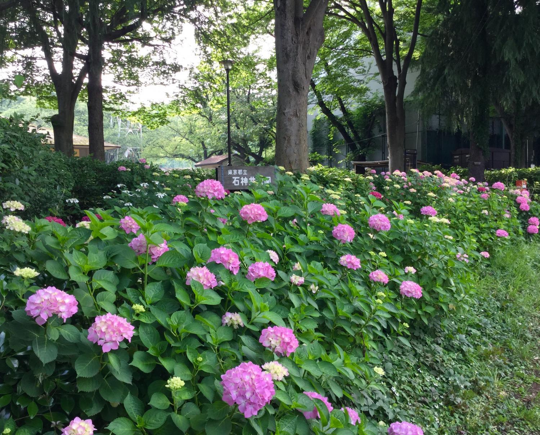 紫阳花的季节图片