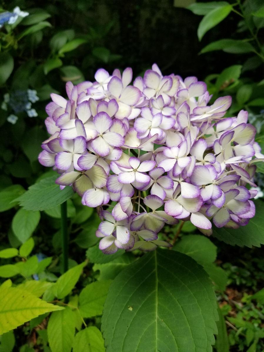 紫陽花園圖片