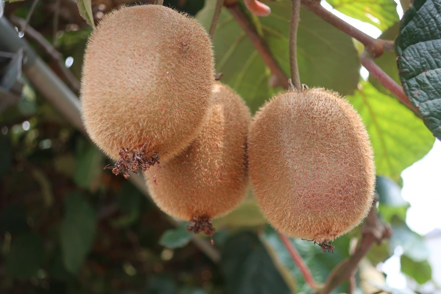 The kiwi fruit degree of ripeness is improving