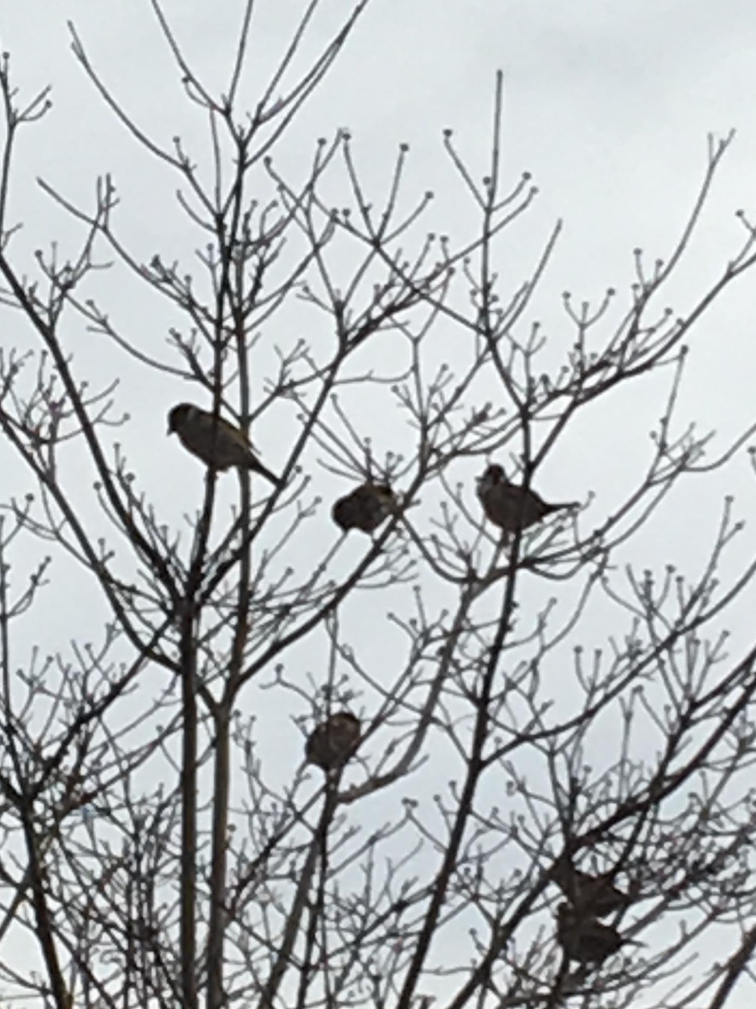미국산딸나무의 가지에 몇 마리의 참새