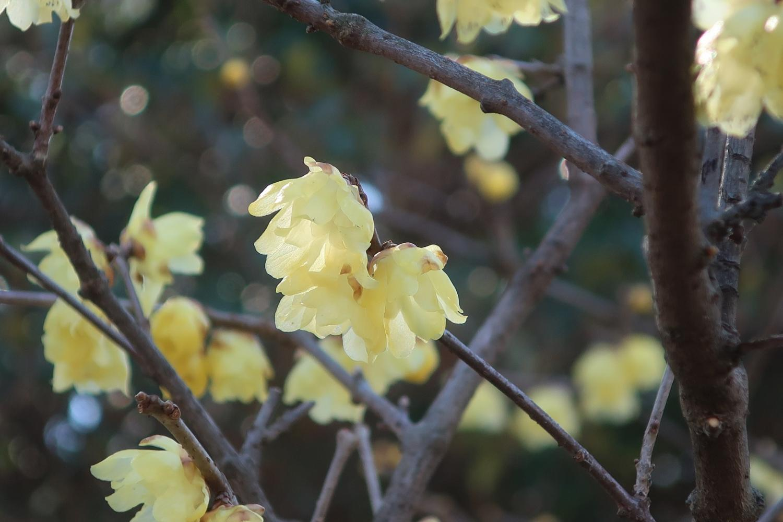 납매의 꽃(무사시세키 공원)