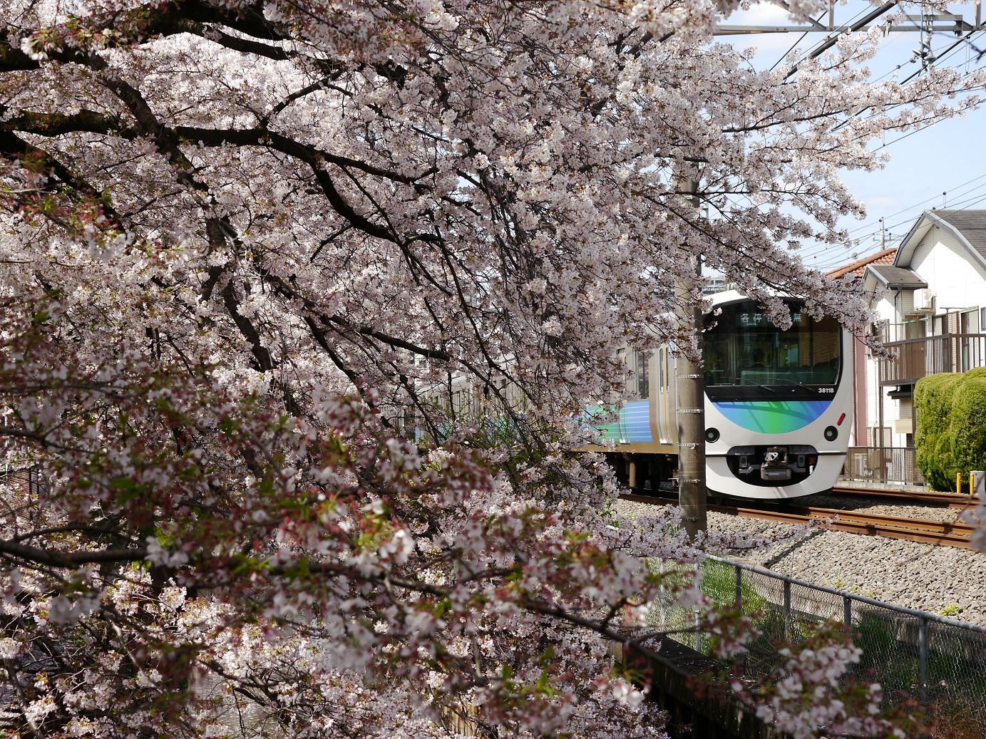 만개의 벚꽃, 유채꽃과 세이부선 이미지