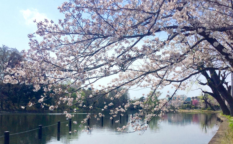 벚꽃의 계절 정말 좋아한다!