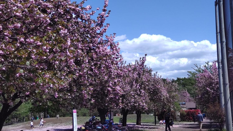 샤쿠지이코엔의 겹벗나무 가로수(B 지구 야구장과 초원 광장 사이)