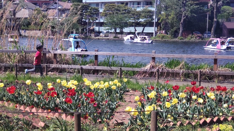샤쿠지이코엔의 보트 연못과 튤립