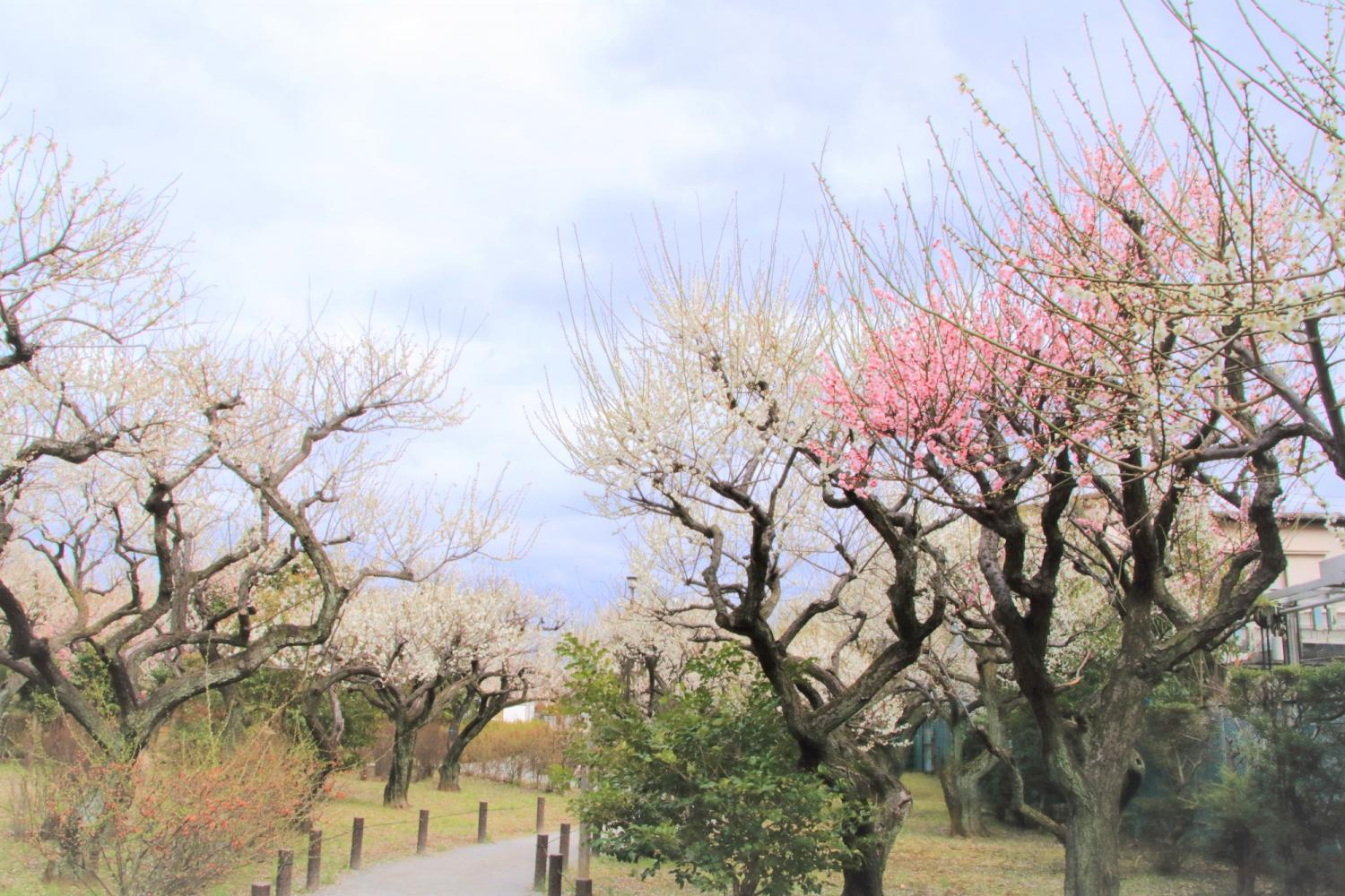 nerimanoneri walk A. Oizumi animation course, scenery course of B.C. Tagara Bairin, nerimano agriculture [we close, and application must arrive by Friday, February 7]
